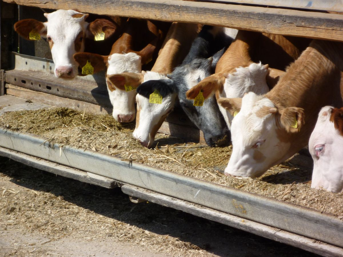 Livestock Grain Enough to Feed 800 Million People